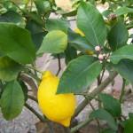 Propiedades-medicinales-del-limón